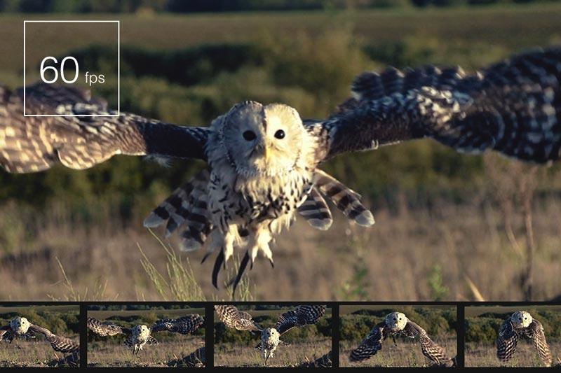 Image of owl being captured 60fps